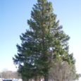 Tänavune Kuressaare jõulukuusk, 12–13 meetrit kõrge ja umbes 60 aastat vana, tuuakse tuleval esmaspäeval Kihelkonna vallast Üru külast Jaani-Tooma maadelt.