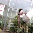 Päris sama palju kui terve jõululaud jõulukuusk maksma ei lähe, kuid mõnevõrra on hinnad kuusemüüjate sõnul siiski tõusnud.