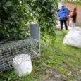 Läinud aasta lõpul sai Kuressaare linnavalitsus tänu anonüümse toetaja abile 25 tänavatel elavat koduta kassi steriliseeritud ja kastreeritud ning seejärel lasti head hiirepüüdjad taas vabaks.