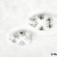 Mati Martinson Sõrve linnujaamast kirjutab oma päevaraamatus, et Sõrves oli taas näha hundijälgi. Martinson ajas jälge ja tõdes, et hunt oli tulnud Tammuna poolt, piki randa Sääres ringi teinud ning läinud tagasi Lülle ja Hänga taha Suurevare metsa.