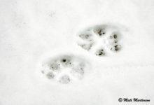 Mati Martinson ajas Sõrves hundijälge