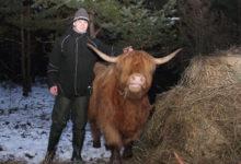 Kaugatoma kaitsealal tulid lammaste asemele Šoti mägiveised