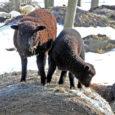 Eesti lambakasvatajate selts soovib koostamisel olevasse maaelu arengukavasse lisada toetusmeetme tarade ehitamiseks, et kaitsta lambaid huntide eest.