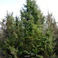 Okaspuude valik taimeäris võtab algajal silme ees kirjuks. Tihti puudub ostukohas vajalik info või teadja müüjatädi. Seepärast siinkohal lühike ülevaade meil pakutavast valikust.