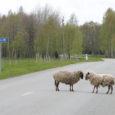 Tiirimetsa poole sõites tasub Länga teeristi jõudvatel autojuhtidel ettevaatlik olla, sest sihitult ja omapäi rändav lambakari uitab seal mööda maanteid. Teisipäeval hüppas üks lammas ootamatult sõiduteele ja jäi auto alla.