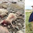Ööl vastu teisipäeva murdsid hundid Sõrves 16 lammast ning öösel karjamaal valvanud peremehe arvates on tegemist hullunud metsloomadega, kes võivad millalgi ka inimestele ohtlikuks muutuda.