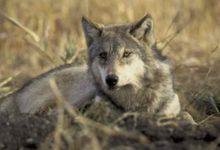 Keskkonnaamet: Saaremaale sobiv huntide arv sõltub huntide käitumisest