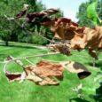 Ohtlik taimekahjustaja viljapuu-bakterpõletik (Erwinia amylovora) tuvastati Viljandimaal eraaias Eestist ostetud pirnipuu istikul. Saastunud taim on hävitatud. Tegemist on kõnealuse bakterhaiguse esmaleiuga Eestis, meie naaberriikidest tuvastati kahjustaja Leedus 2005. a ning […]