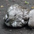 Eile pärastlõunal lebas vigastatud hõbekajakapoeg juba teist päeva Kuressaares Torni tänaval, ent mitte keegi ei söandanud teda aidata. Pärast ligi tund aega kestnud telefonikõnelusi viidi lind lõpuks ära ja toimetati […]