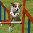 Läinud laupäeval korraldas koerteklubi Aktiiv Kuressaares koerte kuulekuskoolituse võistluse. Võistluspäeva esimene osa oli Eesti kennelliidu (EKL) ametlike võistluste 2016. aasta kalenderplaanis kinnitatud kuulekuskoolituse (KK) võistlus. Registreerus kuus võistlejat, tulemuse said […]
