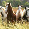 Politsei alustas väärteomenetlust, uurimaks kaheteistkümnel hobusel laka- ja sabajõhvide osalist eemaldamist Lääne-Saare vallas Käesla külas. BNS vahendas, et septembri esimesel poolel lõigati Taavi Kurisoo karja 12 hobusel jõhve. Osa hobuseid […]