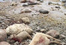 Keskkonnaministeerium lubab lambakarjadele suuremat kaitset