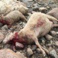 Keskkonnaminister kehtestas suurkiskjate (hunt, ilves, pruunkaru) kaitse- ja ohjeldamise tegevuskava aastateks 2012–2021, mis muuhulgas sisaldab ettepanekut ohjeldada huntide arvukust eelkõige kahjustuspiirkondades ning motiveerida karjakasvatajaid senisest enam ise oma vara kaitsma. […]