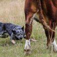"""Saaremaa suurim lihaveiste kasvatamise ettevõte Saare Veisekasvatus OÜ rajab karjakoerte kasvanduse, mille asukad peaksid oluliselt lihtsustama veistega tegelemist. """"Kuna Eestis on see valdkond alles lapsekingades, siis me tahaksime teha ühe […]"""