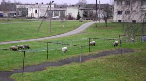 Vabakasvatusega lambad