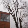 Sel nädalal võib Kuressaare kesklinna suurematel puudel näha turnimas helkurvestide ja kiivritega varustatud mehi. Tegemist on arboristidega, kes teevad linnavalitsuse tellimusel puudele vajalikku hoolduslõikust. Kuressaare heakorra- ja haljastuse spetsialist Katrin […]