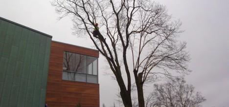 Arboristid teevad südalinna puudele ilulõikust