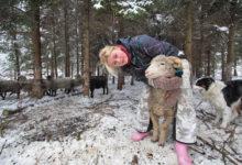Lõu külast kaovad lambad