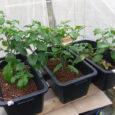 Pihtla vallas elav soomlasest kõrvitsa- ja tšillikasvataja Juha Ollila kasvatab oma kasvuhoones taimi mullata, kasutades mineraalsete toitainete lahuseid. Taimejuured võivad olla kas üksnes toitelahuses või inertses aines, näiteks kruusas, kivivillas […]