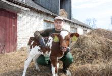 Saaremaa saab juurde uue piimatootja