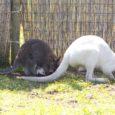 Eile näitas Muhu jaanalinnufarm Saarte Häälele oma uut imelooma – kängurutel Albertil ja Almal sündis valge beebi. Seni veel nimeta loomake on ema kõhul olevas taskus kosunud juba kuus kuud. […]