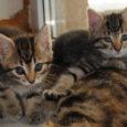 MTÜ Saaremaa Lemmikloomade Turvakodu ei saa kassipoegi nii palju vastu võtta, kui leitakse. Praegugi on tänaval 20 kassipoega, kellest on turvakodule teatatud, aga kelle jaoks ei jätku ruumi ei Talli […]