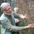 """Eesti metsades viimati 19. sajandil esinenud okkaliblika kahjustused ilmusid nüüd, 150 aastat hiljem, taas välja Kihelkonna vallas Vaigu ranna lähistel kaitsealuses metsas. """"See on üsna haruldane vaatepilt, sest viimati nähti […]"""