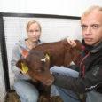 """Pärast pooleteiseaastast vaheaega hakkas Muhus taas tööle saare suurim piimatootmisüksus Hellamaa piimafarm, kuhu Tuule Grupp tõi Pöide vallast Oti farmist 180 lüpsilehma. """"1. oktoobril õnnestus kogu kari ühe päevaga üle […]"""