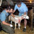 Saaremaa veterinaarkeskus sõlmis iga-aastased lepingud volitatud loomaarstidega, seda ametit peab viies vallas sel aastal uus inimene. Möödunud aasta lõpus Soome tööle läinud Liis Pärteli asemel teenindab sel aastal Salme, Torgu […]