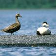 Nädalavahetusel võõrustas Vilsandi rahvuspargi keskuse Loona mõisa perenaine Maarika Toomel linnuvaatlejaid Inglismaalt, kes võtsid pika reisi ette ei kellegi muu kui kirjuhaha pärast. Kaugelt tulnud ornitoloogidel õnnestus pühapäeval näha hahaparve, […]
