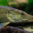 """Saaremaal sündinud kalamees Meelis Muuga püüdis teisipäeval Soomes Karkkilas Saavajõest 1,5 kg kaaluva haugi. Suur oli aga mehe üllatus, kui ta kala kõhust linnu leidis. """"Kui ma kala lõhki lõikasin, […]"""