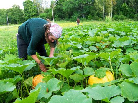 Kõrvitsapõld. Kadariku talu, september 2007. Pilt: Alar Allas