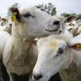Eesti lambakasvatajate selts soovib, et riik hüvitaks kiskjakahjude vältimiseks tehtud kulutusi senisest enam. Arvestades seejuures olukorda, kus Aafrika seakatku tõttu on huntide looduslik toidubaas vähenenud ja surve lammastele kasvab, märkis […]