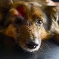 """Politseile tehti eile avaldus, et Leisi vallas Laugu külas rünnati koera kirvega. Arstide sõnul jäi koer küll ellu, kuid tema tulevik võib olla väga sünge. """"Meie praktikas pole sellist asja […]"""