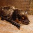 """Looduseuurijad MTÜ-st Sicista Arenduskeskus kavatsevad lähipäevil tulla Saaremaale kaardistama siinseid nahkhiirte kolooniaid. Kolooniaid kaardistavad looduseuurijad eesotsas teadlase Matti Masinguga Eesti nahkhiirte raamatu tarvis, mis sisaldab ka levikukaarte. """"Pean aasta lõpus […]"""