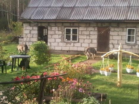 """HUNDID VÕI  KOERAD? Pahapilli külas elav Lubjakivi talu peremees Avo Hõbe, fotod teinud Silveri isa, """"hunte"""" ise ei näinud. """"Poeg nägi neid kella 9 ajal hommikul, ise nägin ainult pilte,"""" rääkis Avo Hõbe, lisades, et kui laudauks oleks lahti olnud, siis oleksid nood elukad kindlasti ka lauta uudistama läinud. Foto: Silver Hõbe"""