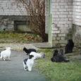 """Sandla külas asuva maja number 3 elanikud on hädas maja ees pesitsevate kodutute kassidega, keda on ühtekokku viisteist. """"See probleem on olnud meil päris kaua,"""" ütles majaelanik Marika Koel, lisades, […]"""