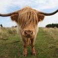 """Kuressaare linnavalitsus lõpetab osaliselt Kuressaare lahe hoiuala piiridesse jääva kinnistu rentimise roolõikamisfirmale Trevor Est ja hakkab karjamaa roostumise vastu võitlema veistega. """"Kuna rooniitmine sellisel kujul ei ole soovitud tulemust andnud, […]"""