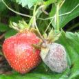 Hiljuti Eestis läbi viidud uurimuse tulemused näitavad, et 64 protsendis aedmaasika viljade proovidest oli pestitsiidijääke. Selles tulemuses ei ole midagi uut: aedmaasika proovidest on ka mujal maailmas leitud pestitsiidijääke, mõnikord […]