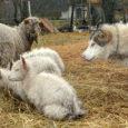 Orissaare vallas asuva Tõnu talu malamuut Vanilla on pererahva sõnul oma hoole alla võtnud terve nende lamba- ja kitsekarja. Perenaine Heidi Hanso usub, et Vanilla suur hellus tallekeste vastu on […]