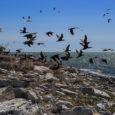 """Paljukirutud kormoranid on sel kevadel vallutanud pesitsemiseks Kuressaare jahisadama faarvaatri süvendamisel väljatõstetud pinnasest moodustunud vallid, mida rahvas toonase linnapea järgi ka """"Tammkivi kaljudeks"""" kutsub. Kormoranipesi on linnast umbes kilomeetri kaugusel […]"""