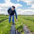Jaheda kevade tõttu jõuab Saaremaal kasvatatud aedmaasikas Kuressaare turule mullusest kaks nädalat hiljem. Möödunud aastal juba 11. juunil esimesena kodumaise aedmaasikaga Kuressaare turule saabunud Agnes Peucker Orissaare vallast ütles, et […]