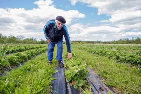 MÜÜB MAASIKAID OTSE: Viimased kolm aastat pole Kalev Kuris turuteed enam jalge alla võtnud, vaid müüb maasikaid otse kodust. Foto: Raul Vinni