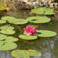 Veekogu, ka kõige väiksem, lisab aiakujundusse uue nüansi. Õnnestunud kujunduses tõmbab vesi alati endale tähelepanu. Olgu siis tegemist tiigi, oja või väikese allikakiviga. Vaikne veepind on peegel, tumeda põhjaga veesilmas […]