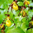Eesti ja Euroopa kõige suuremate õitega orhideeliigi kauni kuldkinga kaitseks ja hea seisundi säilitamiseks kinnitas riik tegevuskava. Kaunist kuldkinga on 2015. aasta alguse seisuga leitud kasvamas 1087 kohas ning liigi […]