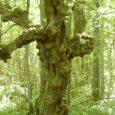 """Alanud on konkurss """"Eesti inimeste puu 2015"""", mille võitja esindab Eestit järgmisel aastal Euroopa aasta puu valimisel. Eesti inimeste puu 2015 tiitlile kandideerib 12 puud, nende hulgas neli puud Saare […]"""