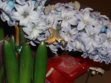 """TOIDULAUA ÄÄRES: Selveri lillepoes elutsevale """"koolibrile"""" on hüatsindinektar mokkamööda. PIRET MÄGI"""