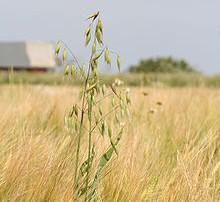 Maaeluministeerium saatis kooskõlastusringile eelnõu, millega lihtsustab tuulekaerast teavitamise süsteemi ja suurendab maakasutajate omavastutust tuulekaera levitamise eest. Muudatusega kaob maakasutajatel kohustus tuulekaera tõrjekava koostamiseks ja selle kooskõlastamiseks põllumajandusametiga, küll aga määratletakse […]