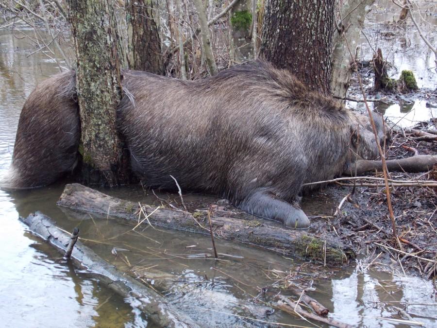 Kuressaare mees Raimo Kuris sattus esmaspäeval Kärla jõe ääres loodust pildistades kurvale, aga haruldasele vaatepildile. Nimelt oli põder jõe ääres tagaosaga kahe puu vahele kinni jäänud ja ilmselt nälga surnud. […]