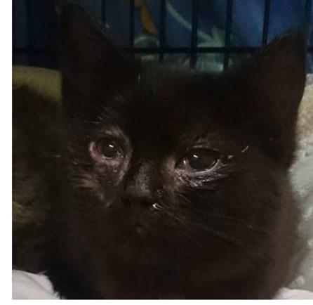 """Kiratsi veski juurest leitud kassipoegade silmadele on herpeseviirus sedavõrd kahju teinud, et nende ravi eest tasumiseks on tarvis heade inimeste abi. Laupäeval jõudis """"Kassikolooniad kontrolli alla"""" vabatahtlikeni Saaremaa lemmikloomade turvakodu […]"""